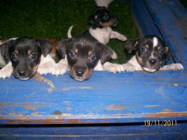 Foto 3 ♥Süße Jack Russel Welpen zu verkaufen♥