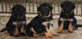 Foto 4 ACHTUNG ! Kräftige, farbstarke Schäferhund Welpen