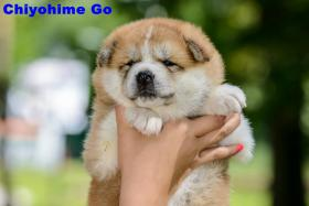 AKITA INU PUPPIES FOR SALE!!!