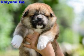 Foto 5 AKITA INU PUPPIES FOR SALE!!!