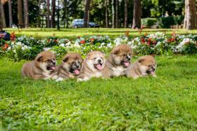 Foto 6 AKITA INU PUPPIES FOR SALE!!!