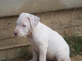 Foto 3 ARGENTIN DOG-STAFFI HUNDE ZU VERKAUFEN IN UNGARN