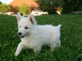 A.C. weisse Schäferhunde