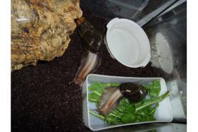 Achatschnecken Achatina Fulica