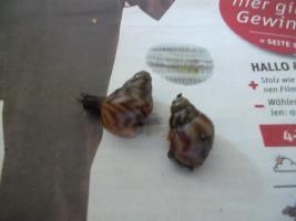 Foto 2 Achatschneckenbabys abzugeben!!!!!!!!!!!!!!!