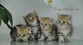 Acht Goldene Whiskas BKH Katzen zu verkaufen