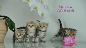 Foto 2 Acht Goldene Whiskas BKH Katzen zu verkaufen