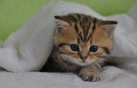 Foto 3 Acht Goldene Whiskas BKH Katzen zu verkaufen