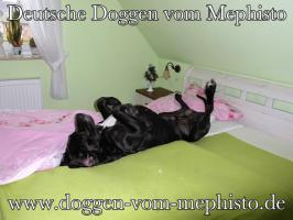 Foto 4 Achtung ! Die Mephistos erwarten am 25.April 2015 TOP-Welpen !