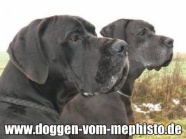 Foto 5 Achtung ! Die Mephistos erwarten am 25.April 2015 TOP-Welpen !