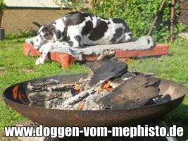 Foto 11 Achtung ! Die Mephistos erwarten am 25.April 2015 TOP-Welpen !