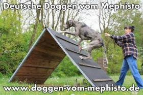 Foto 18 Achtung ! Die Mephistos erwarten am 25.April 2015 TOP-Welpen !