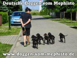 Foto 25 Achtung ! Die Mephistos erwarten am 25.April 2015 TOP-Welpen !