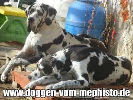 Foto 28 Achtung ! Die Mephistos erwarten am 25.April 2015 TOP-Welpen !