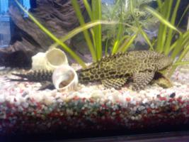 Foto 4 Achtung... komplett Aquarium... zum Schnäppchenpreis!!!