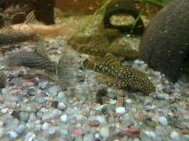 !Achtung!.schnell verschieden junge Welse für Aquarium Süßwasser