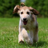 Foto 2 Afghan hound Welpen