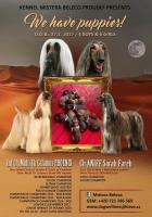 Foto 3 Afghane Welpen (FCI) zum Verkauf