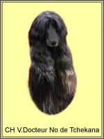 Foto 2 Afghanischer Windhund Welpen mit Papiere