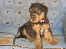 Foto 2 Airedale Terrier