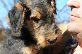 Airedale Terrier Welpen zu verkaufen