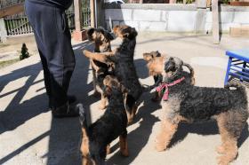 Foto 4 Airedale Terrier Welpen zu verkaufen