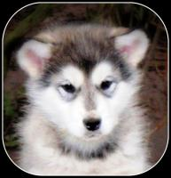 Foto 2 Alaskan Malamute Welpen