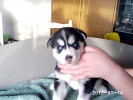 Foto 2 Alle guten Dinge sind 3.....reinrassige Siberian Husky Welpen.....warten auf Euch!!!