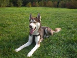 Foto 9 Alle guten Dinge sind 3.....reinrassige Siberian Husky Welpen.....warten auf Euch!!!
