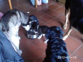 Foto 10 Alle guten Dinge sind 3.....reinrassige Siberian Husky Welpen.....warten auf Euch!!!