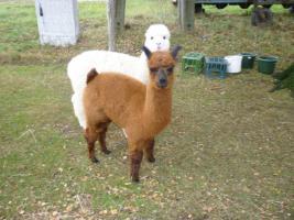 Foto 3 Alpaka für Zucht und Hobby