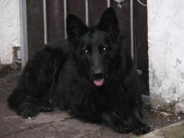 Foto 4 Altdeutsche Schäferhund Welpen