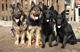 Altdeutsche Schäferhunde von den Pankower Wiesen