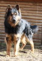 Foto 2 Altdeutsche Schäferhunde von den Pankower Wiesen
