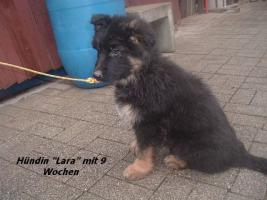 Foto 10 Altdeutscher (Langstockhaar) Schäferhundwelpen m.P.