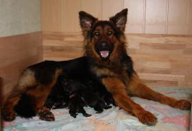 Altdeutscheschaeferhund-Welpen