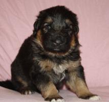 Foto 2 Altdeutscheschaeferhund-Welpen