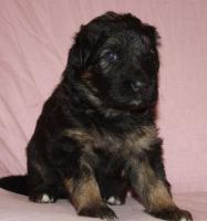 Foto 3 Altdeutscheschaeferhund-Welpen
