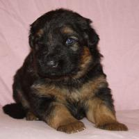 Foto 4 Altdeutscheschaeferhund-Welpen