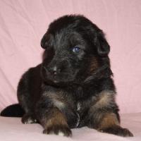 Foto 5 Altdeutscheschaeferhund-Welpen