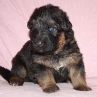 Foto 6 Altdeutscheschaeferhund-Welpen