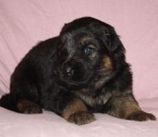 Foto 7 Altdeutscheschaeferhund-Welpen