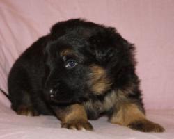 Foto 8 Altdeutscheschaeferhund-Welpen