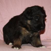 Foto 9 Altdeutscheschaeferhund-Welpen