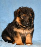 Foto 10 Altdeutscheschaeferhund-Welpen
