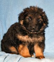 Foto 11 Altdeutscheschaeferhund-Welpen