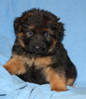 Foto 12 Altdeutscheschaeferhund-Welpen