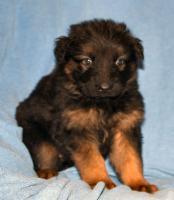 Foto 13 Altdeutscheschaeferhund-Welpen