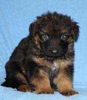 Foto 14 Altdeutscheschaeferhund-Welpen