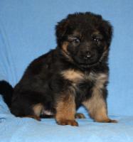 Foto 15 Altdeutscheschaeferhund-Welpen